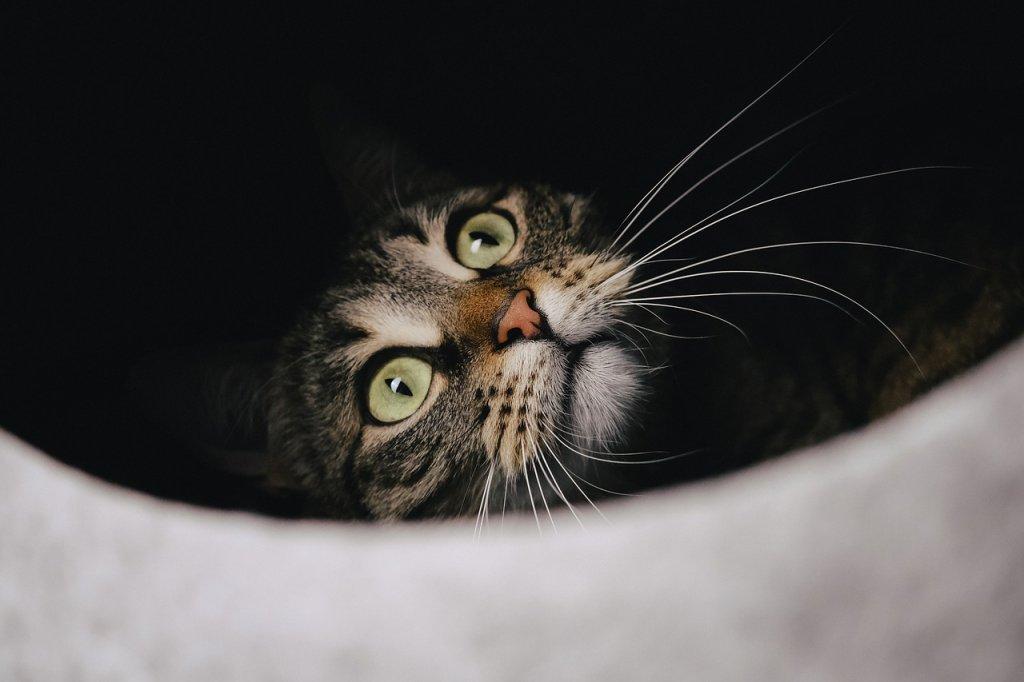 Cat Tabby Pet Face Whiskers  - miezekieze / Pixabay
