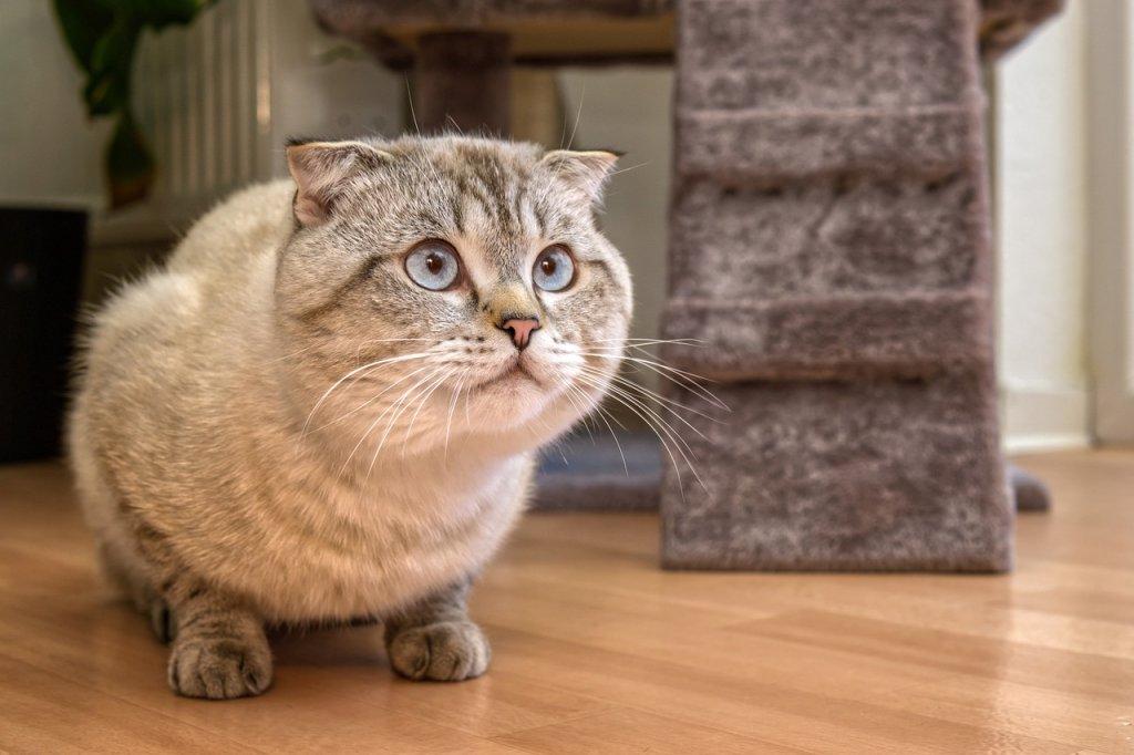 Scottish Fold Domestic Cat  - guvo59 / Pixabay